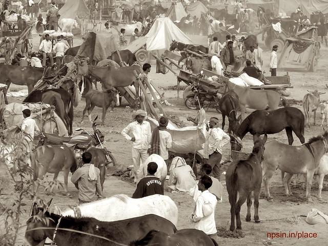 Animal Fair: Mules / Donkey Fair: Busy fair time