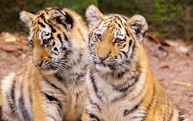 Tiger Volodya und Aljoscha