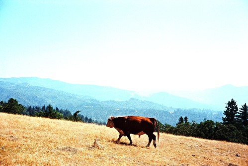 Kerrydale_Ranch_Bacon_Bull-3