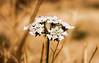 besbas flower وردة بسباس