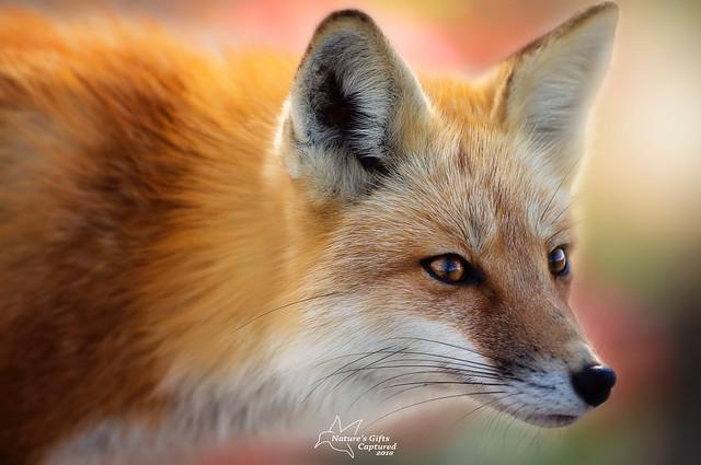 Foxy 🐺