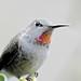 Anna's Hummingbird (Female) by Aurora Santiago Photography