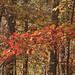 orange leaves by Anne Davis 773