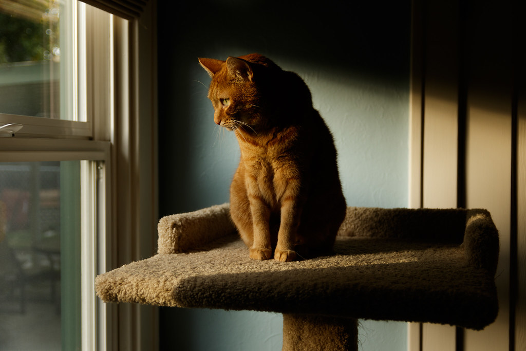 Our cat Sam sits on the cat tree in the fading light of the end of the day