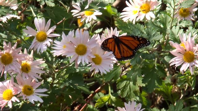 Monarch Butterfly in Northern Illinois on 11012016 HD Video  DSCF9610