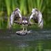Osprey (Pandion haliaetus) by Gowild@freeuk.com