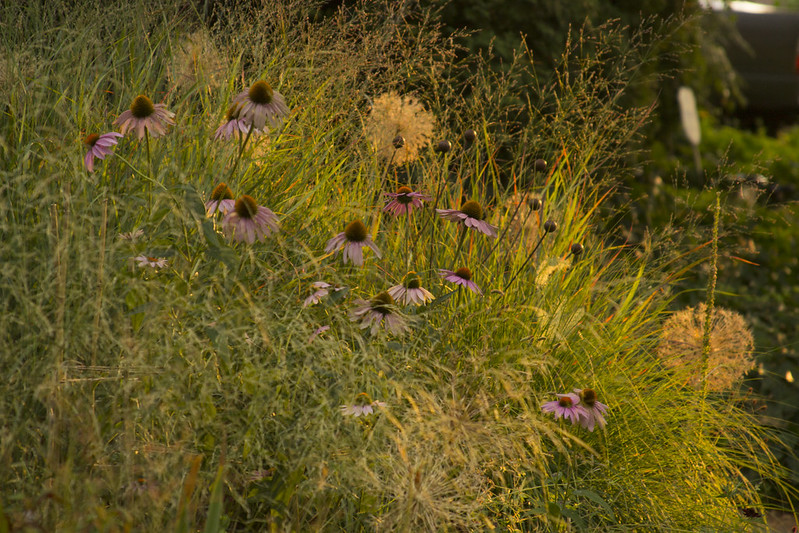 echinacea at sunset