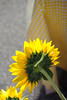 Sunflower by Rich Renomeron