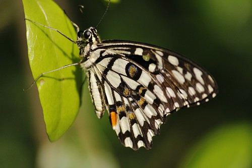 Butterfly-Adyar-Poonga-6
