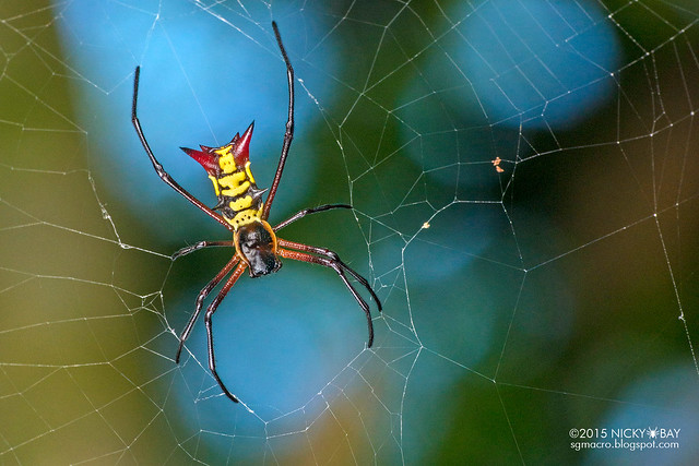 Thorn orb weaver (Micrathena kirbyi) - DSC_1061