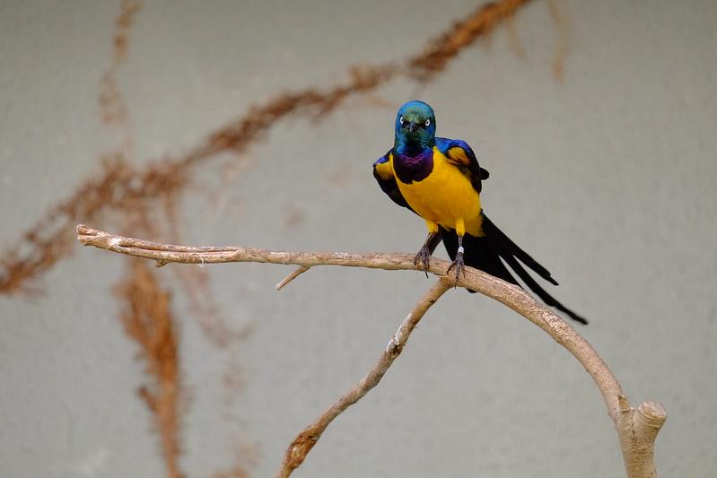 golden-breasted starling / キンムネオナガテリムク