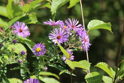 IMG_6179_Purple_Asters