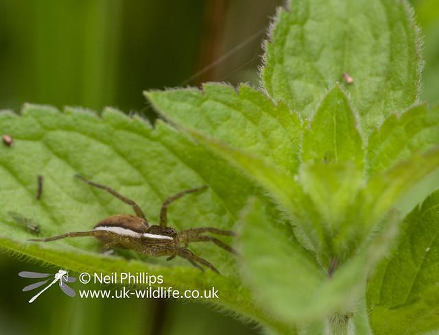 Juvenile fen raft spider