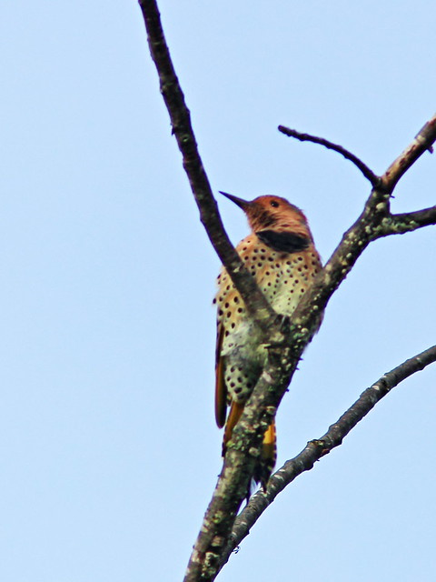 Northern Flicker 20150909