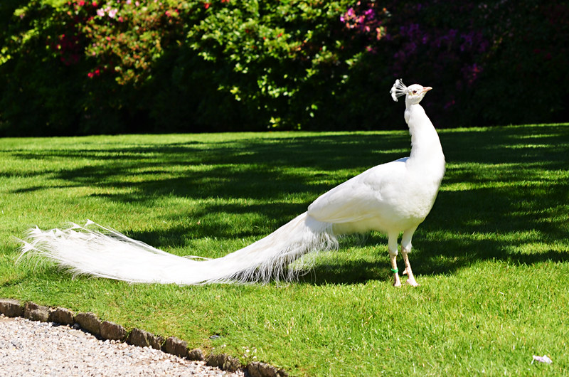 White Peacock, Isola Madre, Borromean Islands, Lake Maggiore, Italy
