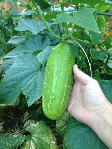 Boston Pickling cucumber.  This one is becoming next year's seed.