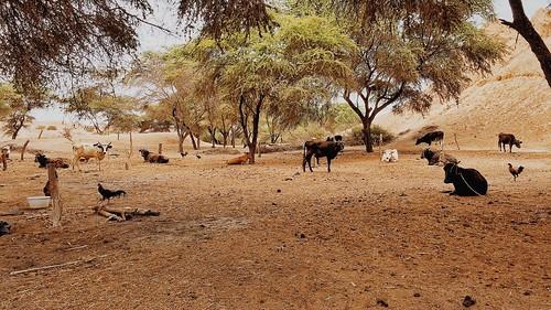 peru animals cows iphone vsco