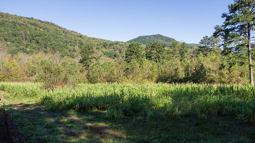 Corn field for deer