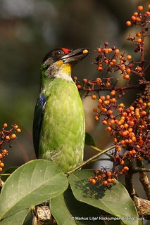 Golden-throated Barbet by Markus Lilje in Bhutan