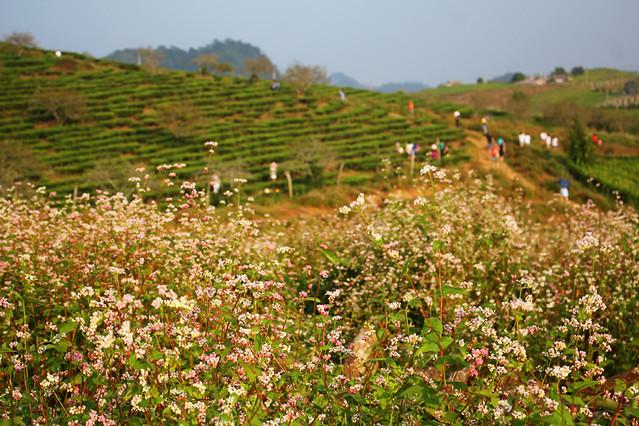 Buckwheat flower - Moc Chau