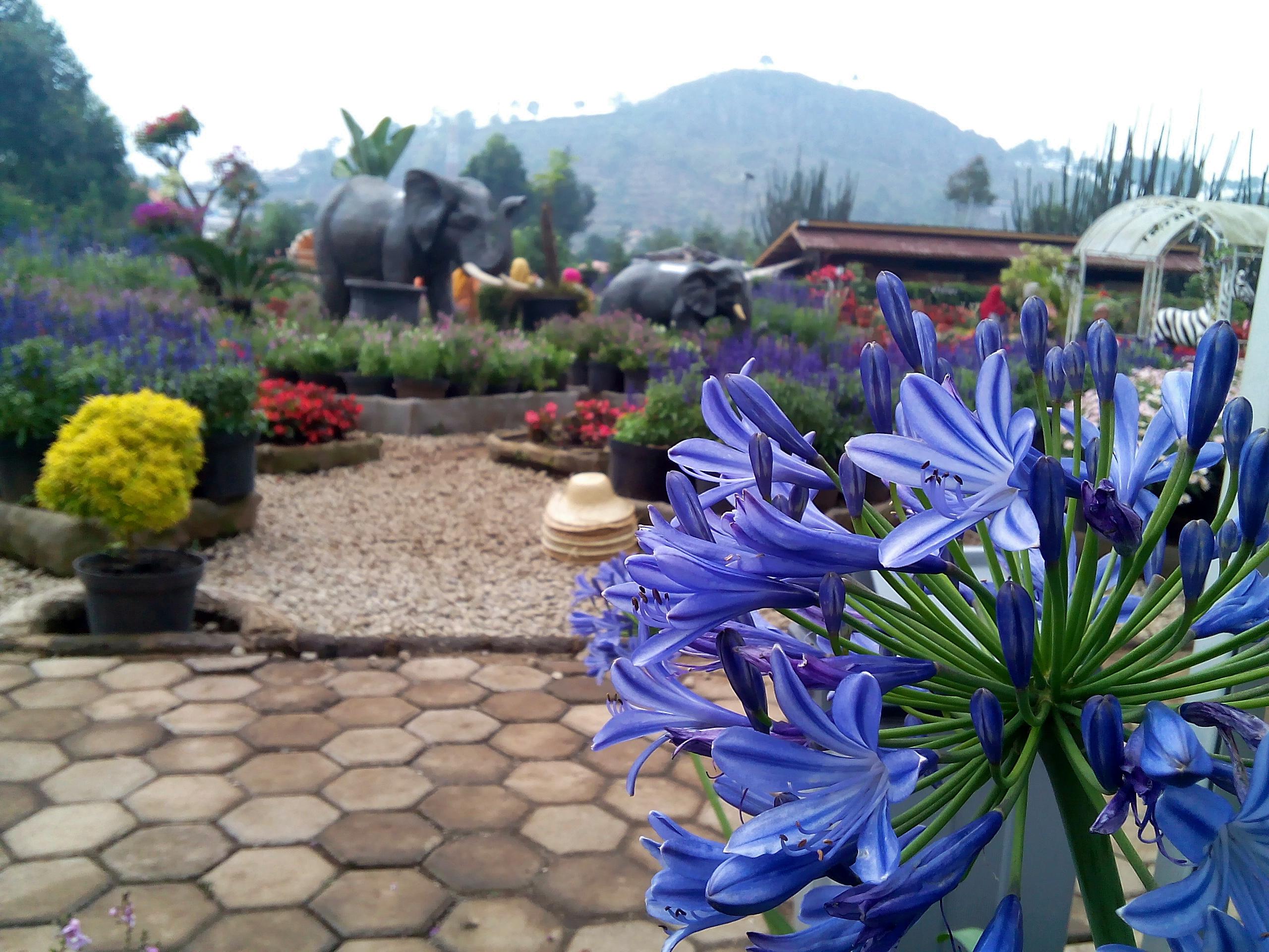 kebun-bunga-begonia-5