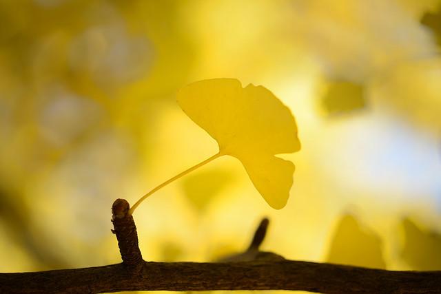 Ginkgo leaf...
