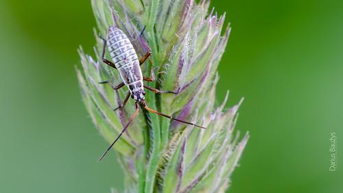 plant macro nature bug bent nymph miridae leptopterna dolabrata blakė žolblakė painioji