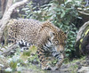jaguar female pacing 2