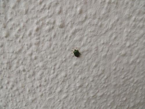 shieldbug2