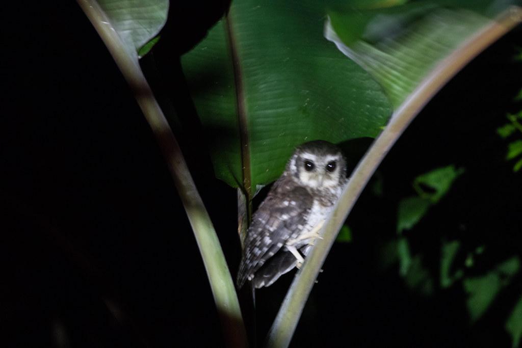 Bare-legged Owl