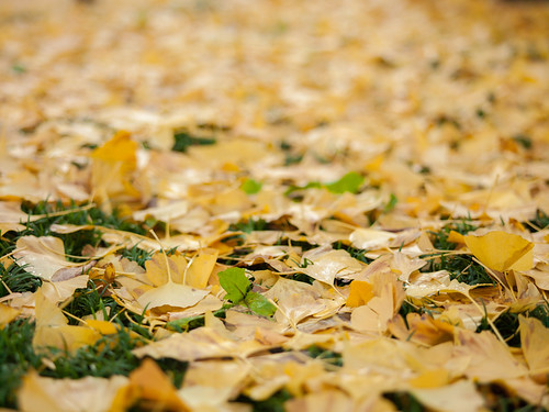 Ginkgo Leaves | by mrhayata