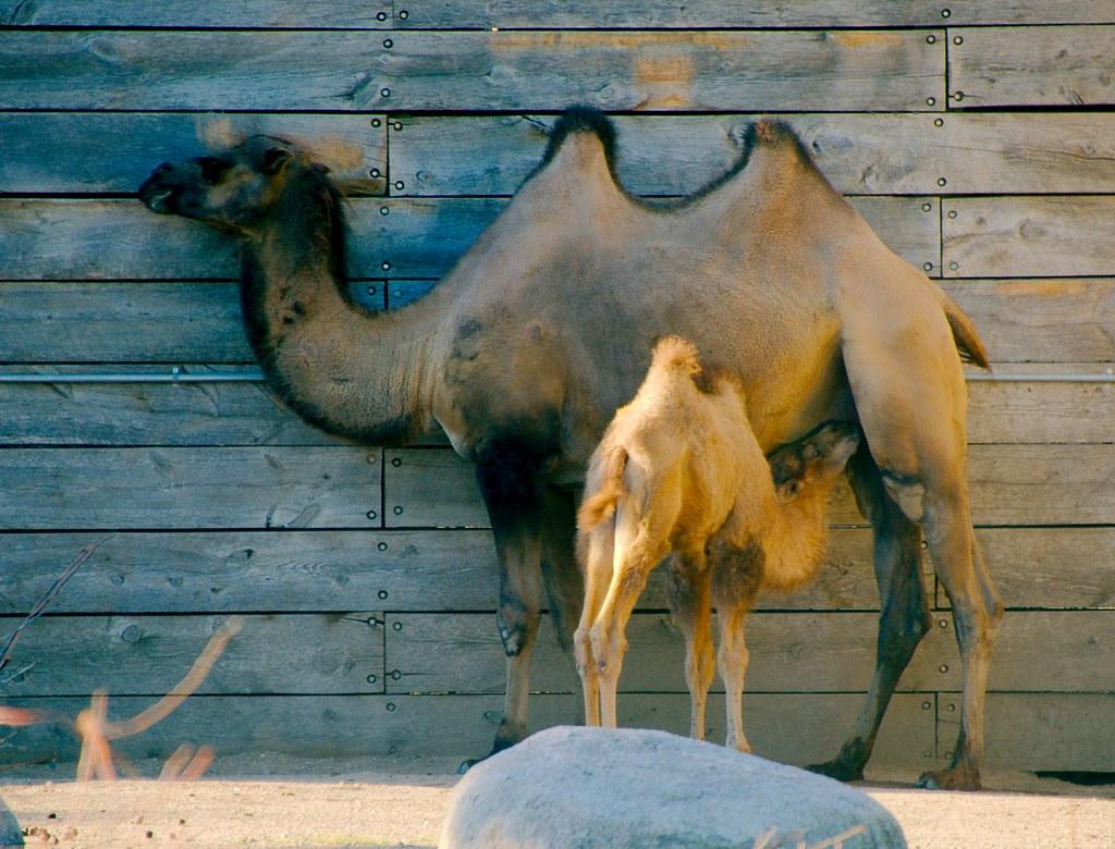 Bactrian Camel_49