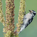 Downy woodpecker by Phiddy1