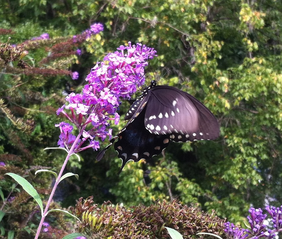 Harpers Ferry Black Butterfly