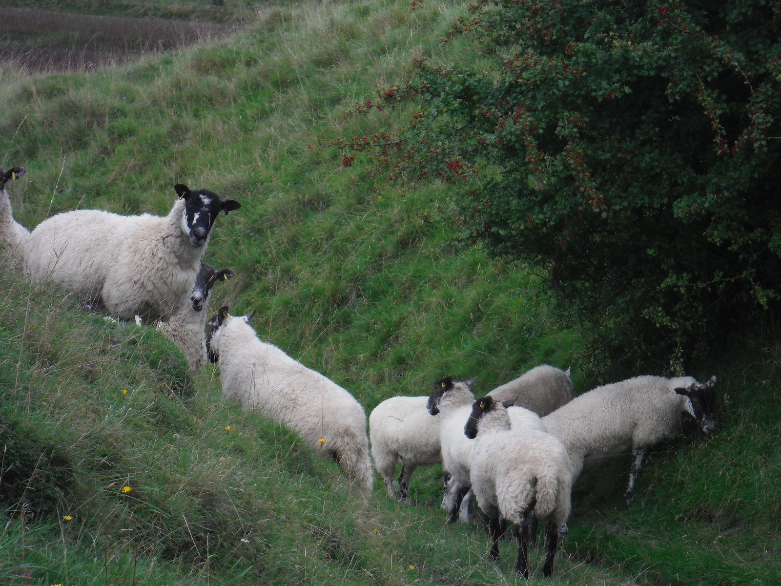 Sheep on Descent from Elcombe Down SWC Walk 250 Tisbury Circular via Alvediston