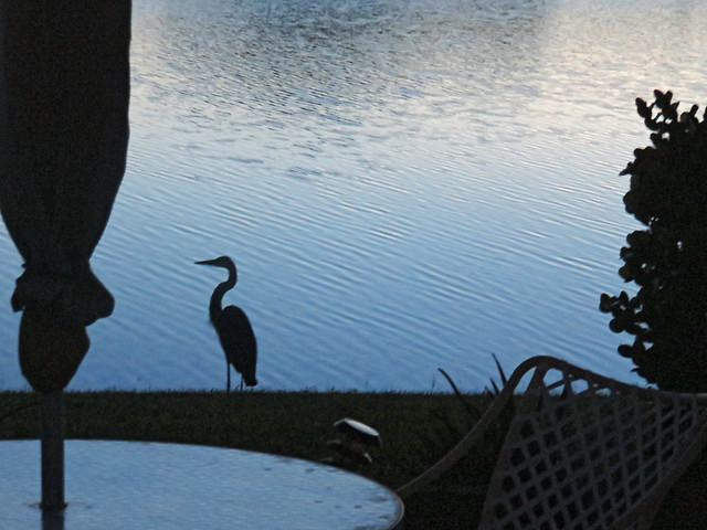 Great Blue Heron in pre-dawn darkness 20150929