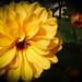 Photo: Dahlia Yellow
