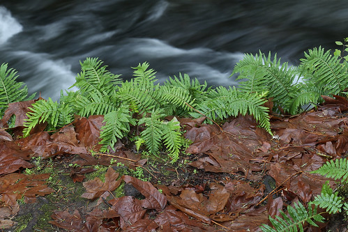 park fern green fall creek landscape bestof calm falls rapids bellingham serene ferns washingtonstate rapid swimminghole soothing careful thirds whatcomfalls whatcomcounty whatcomcreek soundofwater groundscape waterinwater