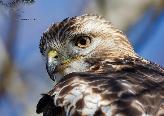 Hammy RT Hawk 11_20 1