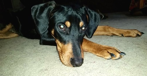 Rescued Doberman Puppy in deep thought - Lapdog Creations
