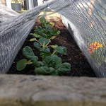 bok choy in shiny's Sunny bed