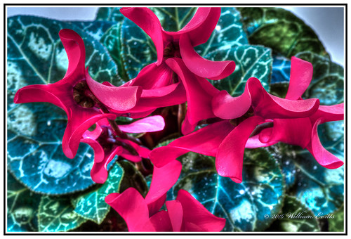 canon photoshop elements macro nature cyclamen flower beauty colour color