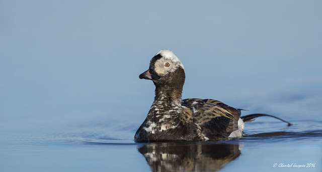 On still water- Long-tailed duck showing off