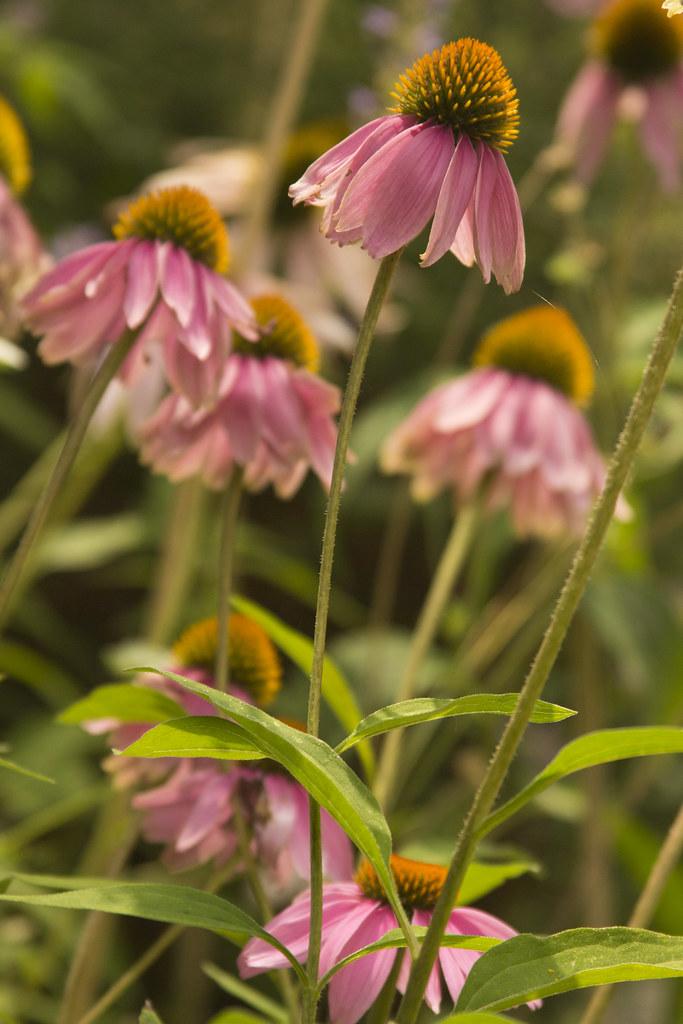 echinacea showoff1