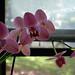 an orchid by keidsmoe