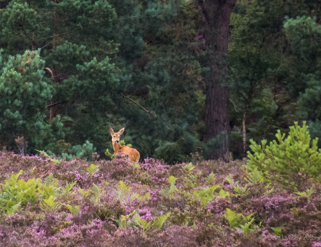Roe deer on the hill