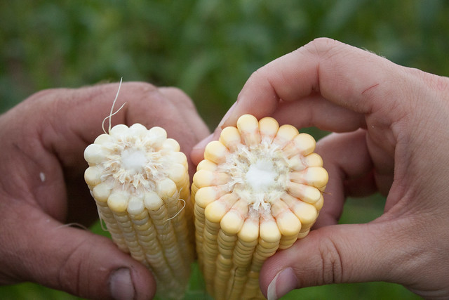 Sweet Corn vs Field Corn