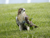 Red-tailed Hawk (juvenile) by Redtail10025