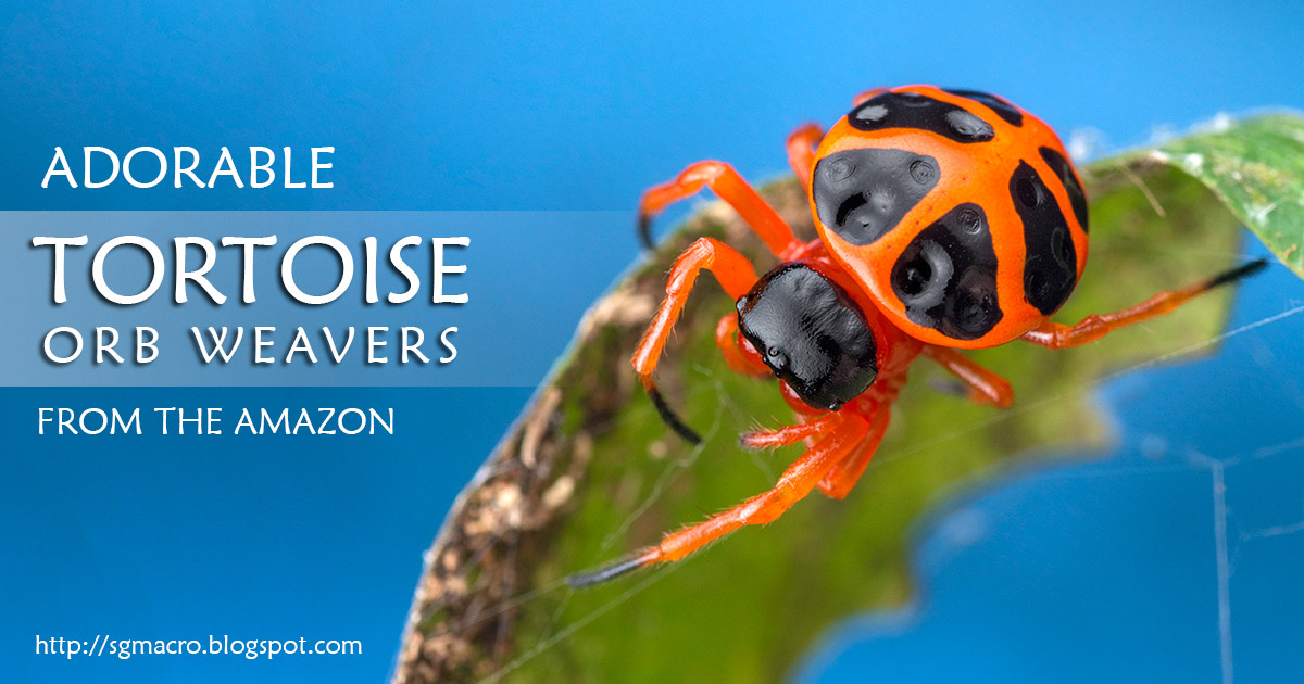 Adorable Tortoise Orb Weavers from the Amazon
