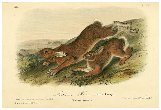005- Liebre del Norte-The quadrupeds of North América-Vol1- 1849- J.J. Audubon-Universite de Strasbourg